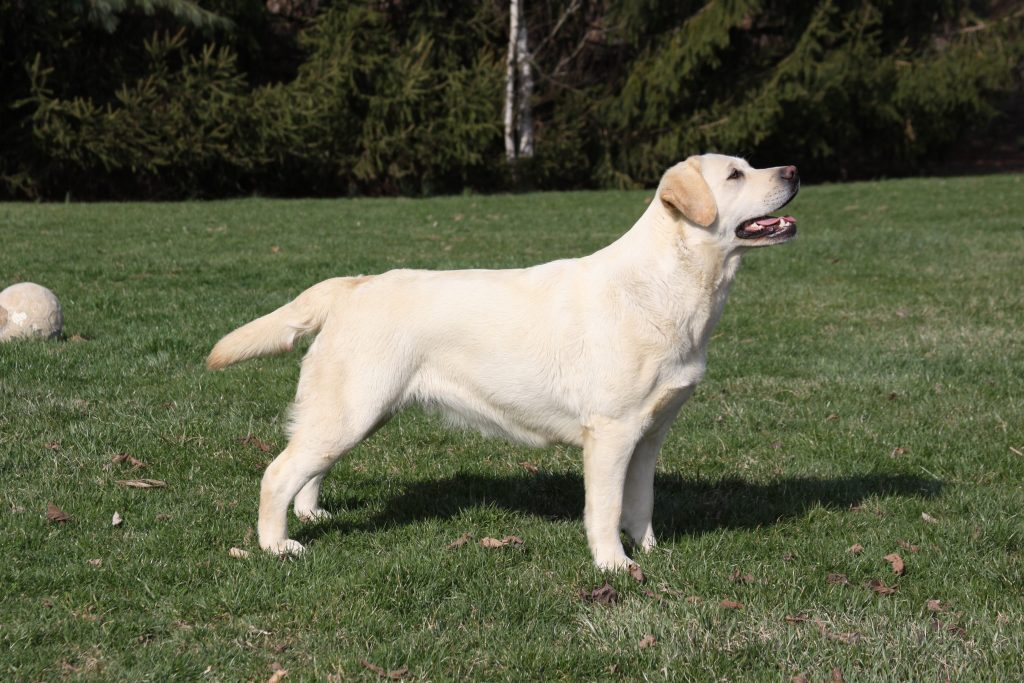 Willow - Allegheny Labradors